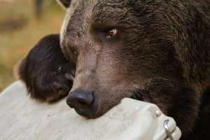 RTIC bear proof cooler