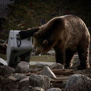 Siberian Coolers - Bear Resistance